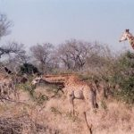 The differences of giraffe's coat colors occur due to what they eat and where they live