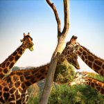 The differences of the giraffe's coat colors occur due to what they eat and where they live