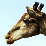 The differences of a giraffe's coat colors occur due to what they eat and where they live