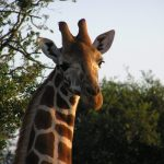 A giraffe's coat colors vary from practically black to light tan and the differences occur due to what they eat and where they live