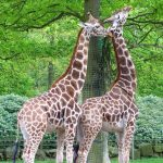 Characterized by its distinctive pattern, long legs, and long neck, many people first believed that a giraffe was a cross between a camel and a leopard