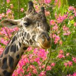 The giraffes' markings are as unique as our fingerprints