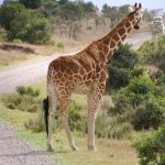 Masai giraffe has markings that look like oak leaves