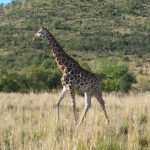 A Masai giraffe has markings that look like oak leaves and are as individual as our fingerprints
