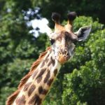 The Masai giraffe has markings that look like oak leaves and are as individual as our fingerprints