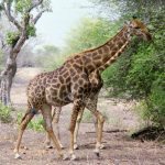 Characterized by its distinctive pattern, long neck, and long legs, many people believed that a giraffe was a cross between a camel and a leopard