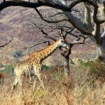 A reticulated giraffe is found only in northern Kenya
