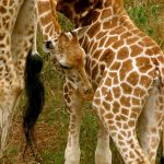 Reticulated giraffe is found only in northern Kenya
