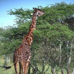 The reticulated giraffes have dark coats