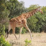 Reticulated giraffes, found only in Northern Kenya, have dark coats with a web of narrow white lines