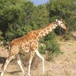 The reticulated giraffes, only found in Northern Kenya, have dark coats with a web of narrow white lines