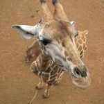 The reticulated giraffes, only found in Northern Kenya, have dark coats
