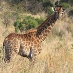 Masai giraffes have patterns like oak leaves while the reticulated giraffes have dark coats with a web of narrow white lines