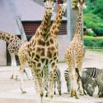 The Masai giraffe has patterns like oak leaves while the reticulated giraffe has a dark coat with a web of narrow white lines