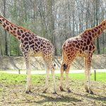 Reticulated giraffe has a dark coat with a web of narrow white lines while Masai giraffe has patterns like oak leaves