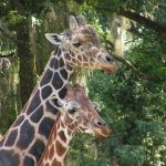 The reticulated giraffe, found only in northern Kenya, has a dark coat with a web of narrow white lines while the Masai giraffe has patterns like oak leaves
