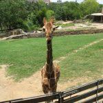 The giraffe's scientific name is Giraffa camelopardalis
