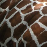 The reticulated giraffe has a dark coat with a web of narrow white lines while the Masai giraffe, from Kenya, has patterns like oak leaves