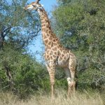 The reticulated giraffe has a dark coat with a web of narrow white lines while a Masai giraffe, from Kenya, has patterns like oak leaves