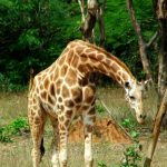 A reticulated giraffe, found only in northern Kenya, has a dark coat with a web of narrow white lines while Masai giraffe, from Kenya, has patterns like oak leaves