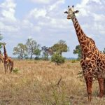 Reticulated giraffe, found only in northern Kenya, has a dark coat with a web of narrow white lines while Masai giraffe, from Kenya, has patterns like oak leaves