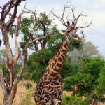 Researchers believe that reticulated giraffes are genetically different from the other subspecies