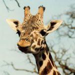 Giraffe are born with their ossicones