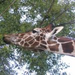 Giraffe is born with its ossicones