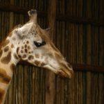 Giraffe lives mainly in savanna areas