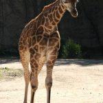 Giraffe lives primarily in savanna areas