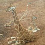 Giraffe lives in savanna areas
