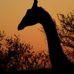Both female and male giraffes have horns that are called 'ossicones covered in skin