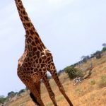 Giraffe is born with its horns