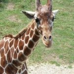 A giraffe is born with its ossicorns that are formed from ossified cartilage