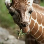 The giraffe is born with its horns known as 'ossicorns' that are formed from ossified cartilage and covered in skin