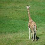 Giraffe is born with its horns that lie flat