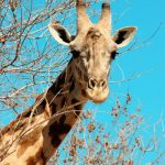 The giraffe is born with its horns but lie flat