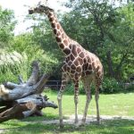 Many people first believed that a giraffe was a cross between a camel and a leopard