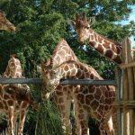 Giraffes are born with their horns but lie flat