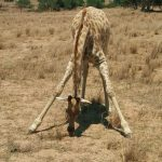 Giraffe is born with its horns but they lie flat