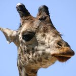 The giraffe is born with its horns but they lie flat