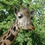 The giraffes are born with their horns but are not attached to the skull