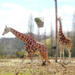 Many people first believed that giraffe was a cross between a camel and a leopard