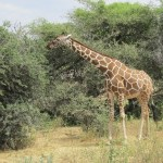 Giraffe's lips, palate and tongue are tough enough to even deal with sharp thorns in trees