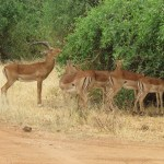 The Grant's gazelle can be seen in northern Tanzania, South Sudan and Ethiopia, the Kenyan coast and Lake Victoria