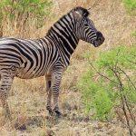 Mountain zebra belongs to the subgenus Hippotigris