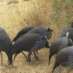 Guinea fowls belong to the Numididae family