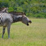 A group of zebras moving together appear as one mass of flickering stripes to the predators