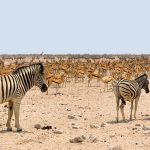A group of zebras moving or standing together appear as one mass of flickering stripes to the predators