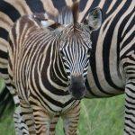 Crosses between zebras and other equines are called zeedonk, zorse, zebroid, zeedonk, and zony